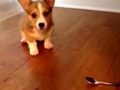 Corgi-puppy-and-the-scary-s