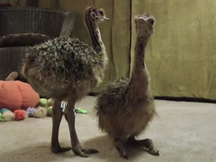 Baby-Ostrich-slowly-falls-a