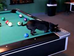 Chihuahua-Dog-Playing-Pool-
