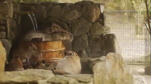 長崎バイオパーク カピバラたらいの湯 ( Capybara in woody washtub ) - YouTube.flv_000066066