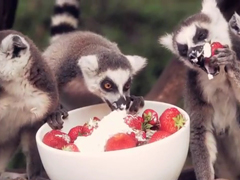 Lemurs-enjoying-strawberrie