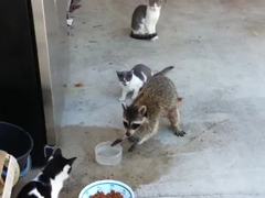 Raccoon-eating-cats-food---