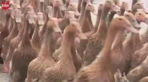 - 5000 Ducks Go For A Walk - YouTube.flv_000023320