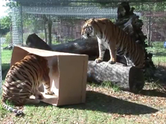 _-BIG-CATS-like-boxes-too!-