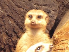 Exhausted-Meerkat-trying-no