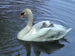 Baby-swan's-(Cygnets)-hitch