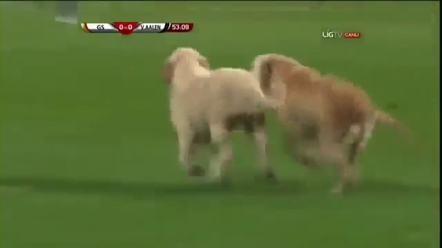Puppies Interrupt Turkish Soccer Match Between Galatasaray and Aalen.mp4_000062160