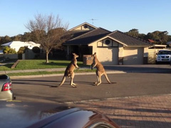 wild-kangaroo-street-fight-