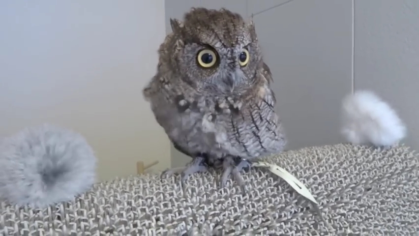 Screech Owl having a bath and then being dried.  _ フクロウのクウちゃん、水浴びから乾燥まで.mp4_000109709