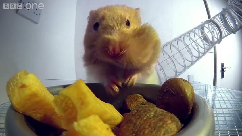 Inside a hamster's cheeks - Pets - Wild at Heart_ Episode 1 Preview - BBC One.mp4_000013040
