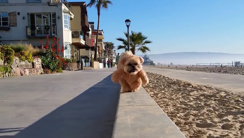 Munchkin the Teddy Bear strolls along the beach.mp4_000004371