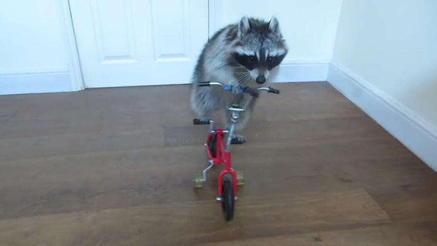 racoooncycle-1